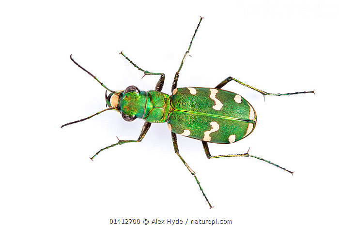 Tiger Beetle (Cicindela hybrida) overhead portrait,  photographed on a white background. Aosta Valley, Monte Rosa Massif, Pennine Alps, Italy. July., ALPINE,ALPS,BEETLES,CLOSE UPS,COLEOPTERA,COPYSPACE,CUTOUT,EUROPE,FIELD STUDIO,GREEN,HIGHLANDS,INSECTS,INVERTEBRATES,ITALY,LEGS,PORTRAITS,SUMMER,TIGER BEETLES,WHITE BACKGROUND, Alex Hyde