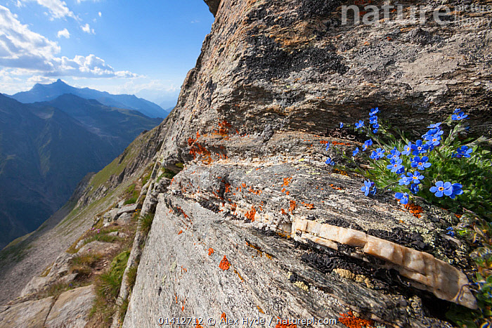 King of the Alps (Eritrichium nanum) growing on mountain ridge at 3000 metres altitude in Gran Paradiso National Park, Aosta Valley, Pennine Alps, Italy. July., ALPINE,ALPS,BORAGINACEAE,CRAGS,DICOTYLEDONS,HABITAT,ITALY,LANDSCAPES,LEDGES,MOUNTAINS,NATIONAL PARK,NP,PLANTS,RESERVE,ROCKS,SUMMER,Europe, Alex Hyde