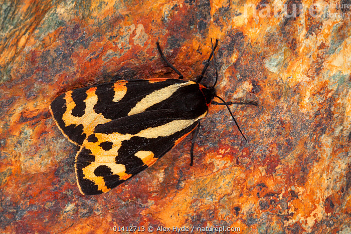Wood Tiger moth (Parasemia plantaginis) Aosta Valley, Monte Rosa Massif, Pennine Alps, Italy. July., ALPINE, alps, EUROPE, HIGHLANDS, INSECTS, INVERTEBRATES, ITALY, LEPIDOPTERA, MOTHS, NOCTUID-MOTHS, overhead, PORTRAITS, SUMMER, Alex Hyde