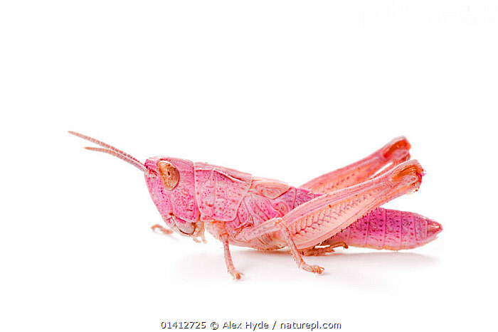 Common field grasshopper (Chorthippus brunneus) nymph, pink form photographed on a white background. Aosta Valley, Monte Rosa Massif, Pennine Alps, Italy. July., ALPINE,ALPS,CLOSE UPS,COPYSPACE,CUTOUT,EUROPE,FIELD STUDIO,GRASSHOPPERS,INSECTS,INVERTEBRATES,ITALY,ORTHOPTERA,PINK,PORTRAITS,PROFILE,SHORT HORNED GRASSHOPPERS,SUMMER,WHITE BACKGROUND, Alex Hyde