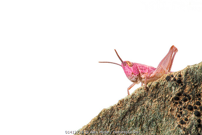 Common field grasshopper (Chorthippus brunneus) nymph, pink form. Photographed on a white background. Aosta Valley, Monte Rosa Massif, Pennine Alps, Italy. July., ALERT,ALPINE,ALPS,CLOSE UPS,COPYSPACE,CURIOUS,CUTOUT,EUROPE,FIELD STUDIO,GRASSHOPPERS,INSECTS,INVERTEBRATES,ITALY,ORTHOPTERA,PINK,PORTRAITS,SHORT HORNED GRASSHOPPERS,SUMMER,WHITE BACKGROUND, Alex Hyde