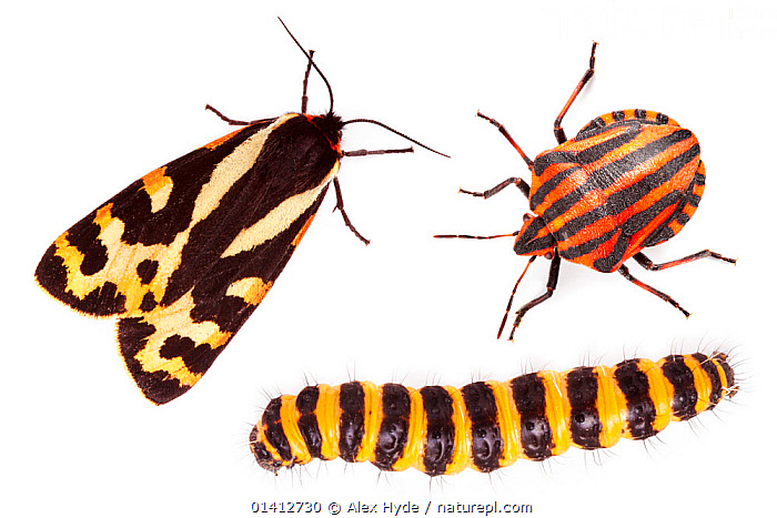 Aposematism describes the use of bright colouration and bold patterns to advertise that an organism is unpalatable or dangerous. All three insects are foul-tasting or toxic if eaten:  Wood Tiger moth (Parasemia plantaginis),  Italian Striped-Bug / Minstrel Bug (Graphosoma lineatum) and  Cinnabar Moth (Tyria jacobaeae) caterpillar. Composite image.  ,  aposematic, aposematism, BEETLES, BUGS, caterpillars, CLOSE-UPS, COLOURFUL, copyspace, CUTOUT, DEFENSIVE, EUROPE, field studio, GROUPS, INSECTS, INVERTEBRATES, ITALY, LEPIDOPTERA, MIXED-SPECIES, MOTHS, NOCTUID-MOTHS, overhead, PATTERNS, PORTRAITS, STRIPED, STRIPES, THREE, unpalatable, warning, warning colouration, white background,Behaviour,Catalogue5  ,  Alex Hyde