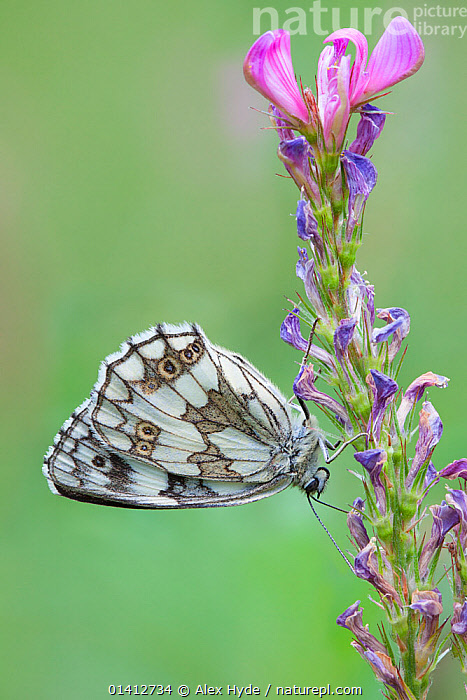 Marbled White (Melanargia galathea), Gran Paradiso National Park, Aosta Valley, Pennine Alps, Italy. July., ALPINE,ALPS,ARTHROPODS,BUTTERFLIES,EUROPE,FEEDING,FLOWERS,HIGHLANDS,INSECTS,INVERTEBRATES,ITALY,LEPIDOPTERA,NATIONAL PARK,NP,NYMPHALIDAE,PROFILE,RESERVE,SUMMER,UPSIDE DOWN,VERTICAL, Alex Hyde