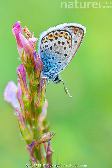 Silver Studded Blue (Plebejus argus), Gran Paradiso National Park, Aosta Valley, Pennine Alps, Italy. July., ALPINE,ALPS,ARTHROPODS,BUTTERFLIES,EUROPE,FEEDING,FLOWERS,INSECTS,INVERTEBRATES,ITALY,LEPIDOPTERA,LYCAENIDAE,NATIONAL PARK,NP,PLANTS,PROFILE,RESERVE,SUMMER,Catalogue5, Alex Hyde