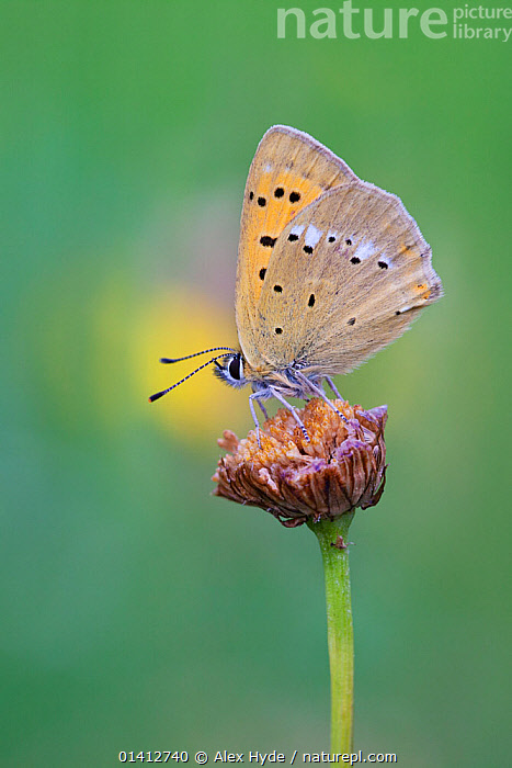 Scarce Copper (Lycaena virgaureae) on flower, Gran Paradiso National Park, Aosta Valley, Pennine Alps, Italy. July., ALPINE,ALPS,ARTHROPODS,BUTTERFLIES,COPYSPACE,EUROPE,FEEDING,FLOWERS,INSECTS,INVERTEBRATES,ITALY,LEPIDOPTERA,NATIONAL PARK,NP,PLANTS,PORTRAITS,PROFILE,RESERVE,SUMMER,VERTICAL, Alex Hyde