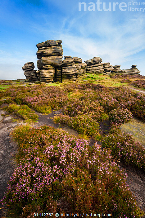 A millstone grit formation known as the 'Coach and Horses' on Derwent Edge, with Heather (Calluna vulgaris) in bloom. Peak District National Park, Derbyshire, UK. September., AUTUMN,DERBYSHIRE,ENGLAND,EUROPE,FLOWERING,FLOWERS,GEOLOGY,HABITAT,HEATHER,MOORLAND,NATIONAL PARK,NP,PEAK DISTRICT,PLANTS,RESERVE,ROCK FORMATIONS,ROCKS,TORS,UK,United Kingdom, Alex Hyde