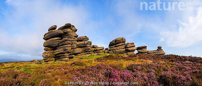 A millstone grit formation known as the 'Coach and Horses' on Derwent Edge, with Heather (Calluna vulgaris) in bloom. Peak District National Park, Derbyshire, UK. September. Stitched panorama, AUTUMN,DERBYSHIRE,ENGLAND,EUROPE,FLOWERING,GEOLOGY,HABITAT,HEATHER,LANDMARK,LANDSCAPES,MOORLAND,NATIONAL PARK,NP,PANORAMIC,PEAK DISTRICT,RESERVE,ROCK FORMATIONS,ROCKS,TORS,UK,United Kingdom, Alex Hyde