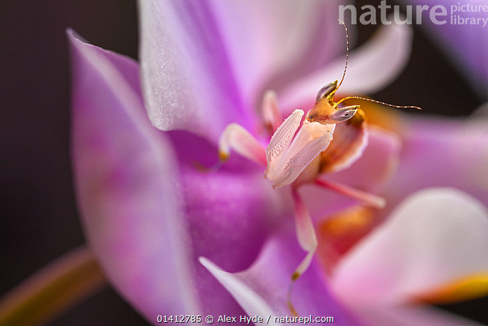Malaysian Orchid Mantis (Hymenopus coronatus) showing pink colouration camouflaged on an orchid, Captive  ,  AMBUSH,CAMOUFLAGE,CRYPTIC,FLOWERS,INSECTS,INVERTEBRATES,MANTIDS,MANTIS,MIMIC,MIMICRY,PHASMIDA,PINK,TROPICAL,TROPICS,Mantodea  ,  Alex Hyde