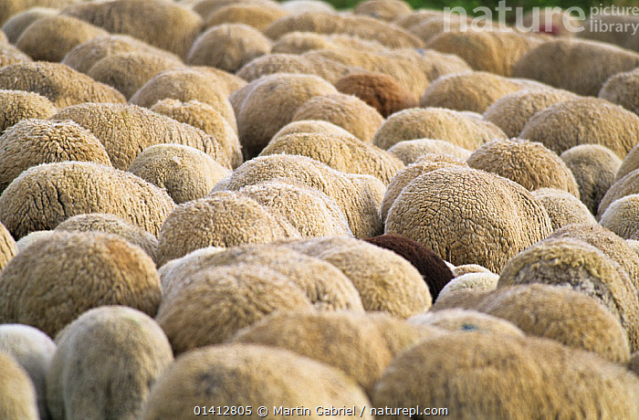 Large gorup of Merino sheep seen from back, Kelheim county, Bavaria, Germany, ARTIODACTYLA,BOVIDAE,EUROPE,FLOCKS,GERMANY,GROUPS,LIVESTOCK,MAMMALS,SHEEP,VERTEBRATES,Goats,Antelopes, Martin Gabriel