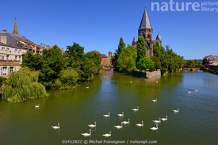 Mute wans (Cygnus olor) on Moselle River by Le Temple Neuf. Metz, Lorraine, France., Anatidae,BIRDS,BRIDGES,BUILDINGS,CHURCHES,EUROPE,FRANCE,GROUPS,Historic,LANDSCAPES,RIVERS,SWANS,TOWNS,URBAN,VERTEBRATES,WATERFOWL,Wildfowl, Michel Poinsignon
