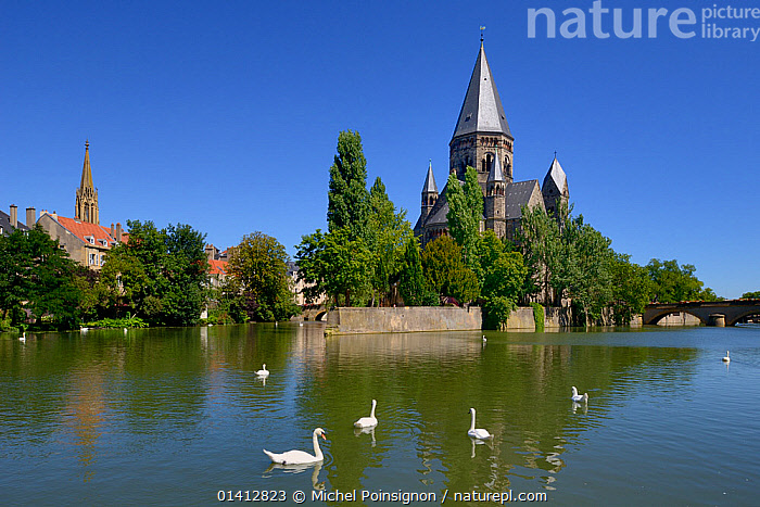 Mute swans (Cygnus olor) on Moselle River by Le Temple Neuf. Metz, Lorraine, France., Anatidae,BIRDS,BRIDGES,BUILDINGS,CHURCHES,EUROPE,FRANCE,GROUPS,Historic,LANDSCAPES,RIVERS,SWANS,TOWNS,URBAN,VERTEBRATES,WATERFOWL,Wildfowl, Michel Poinsignon
