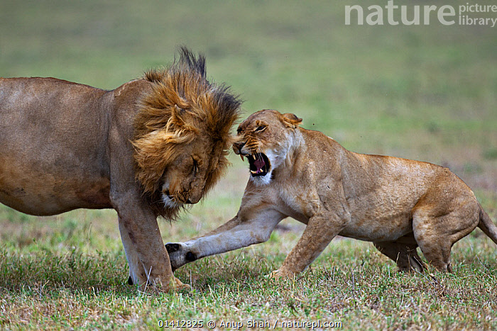 African lion (Panthera leo) lioness resisting a male lion's advances, Masai Mara National Reserve, Kenya. March 2011 sequence 1 of 3., ACTION,AFRICA,AGGRESSION,BEHAVIOUR,BIG CATS,CARNIVORES,COMMUNICATION,EAST AFRICA,FELIDAE,FEMALES,GRASSLAND,INTERACTION,LIONS,MALE FEMALE PAIR,MALES,MAMMALS,MATING BEHAVIOUR,RESERVE,SAVANNA,SEQUENCE,SNARLING,VERTEBRATES,VOCALISATION, Anup Shah