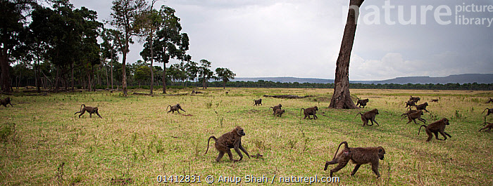 Olive baboon (Papio cynocephalus anubis) troop foraging at edge of woodland, Masai Mara National Reserve, Kenya. March, AFRICA,BABOONS,CERCOPITHECIDAE,EAST AFRICA,FAMILIES,GRASSLAND,GROUPS,MAMMALS,MONKEYS,MOVING,PANORAMIC,PRIMATES,RESERVE,RUNNING,SAVANNA,TREES,TROOP,VERTEBRATES,WOODLAND,PLANTS, Anup Shah