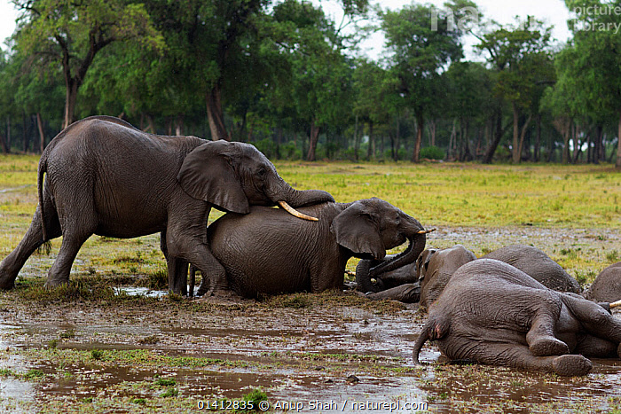 African elephant (Loxodonta africana) herd wallowing in a water hole, Masai Mara National Reserve, Kenya. March, ADULTS,AFRICA,EAST AFRICA,ELEPHANTS,ENDANGERED,FUN,GRASSLAND,GROUPS,HABITAT,HERD,INTERACTION,JUVENILE,MAASAI,MAMMALS,MUD,PLAY,PLAYFUL,PROBOSCIDS,RESERVE,SAVANNA,VERTEBRATES,VULNERABLE,WALLOWING,WATER,WETLANDS,YOUNG,Communication, Anup Shah