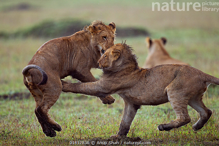 African lion (Panthera leo) adolescent males aged about 2 years play fighting, Masai Mara National Reserve, Kenya. March, ACTION,AFRICA,BEHAVIOUR,BIG CATS,CARNIVORES,EAST AFRICA,FELIDAE,FIGHTING,FUN,GRASSLAND,IMMATURE,INTERACTION,JUVENILE,LIONS,MAASAI,MALES,MAMMALS,PLAY,PLAY FIGHTING,PLAYFUL,RESERVE,SAVANNA,SOCIAL BEHAVIOUR,SUBADULT,TWO,VERTEBRATES,YOUNG,Aggression,Communication, Anup Shah