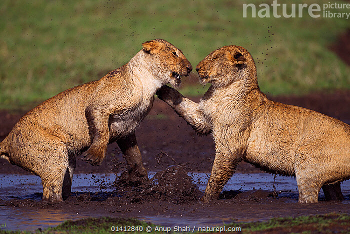 African lion (Panthera leo) cubs aged between 18 and 24 months playing at a water hole, Masai Mara National Reserve, Kenya. March, ACTION,AFRICA,BEHAVIOUR,BIG CATS,CARNIVORES,EAST AFRICA,FELIDAE,FIGHTING,FUN,GRASSLAND,IMMATURE,INTERACTION,JUVENILE,LIONS,MAASAI,MALES,MAMMALS,MUD,PLAY,PLAY FIGHTING,PLAYFUL,RESERVE,SAVANNA,SOCIAL BEHAVIOUR,SPRAY,SUBADULT,TWO,VERTEBRATES,WATER,YOUNG,Aggression,Communication, Anup Shah