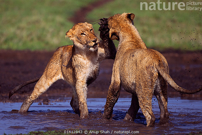 African lion (Panthera leo) cubs aged between 18 and 24 months playing at a water hole, Masai Mara National Reserve, Kenya. March, ACTION,AFRICA,BEHAVIOUR,BIG CATS,CARNIVORES,EAST AFRICA,FELIDAE,FIGHTING,FUN,GRASSLAND,IMMATURE,INTERACTION,JUVENILE,LIONS,MAASAI,MALES,MAMMALS,MUD,PLAY,PLAY FIGHTING,PLAYFUL,RESERVE,SAVANNA,SOCIAL BEHAVIOUR,SUBADULT,TWO,VERTEBRATES,WATER,YOUNG,Aggression,Communication, Anup Shah