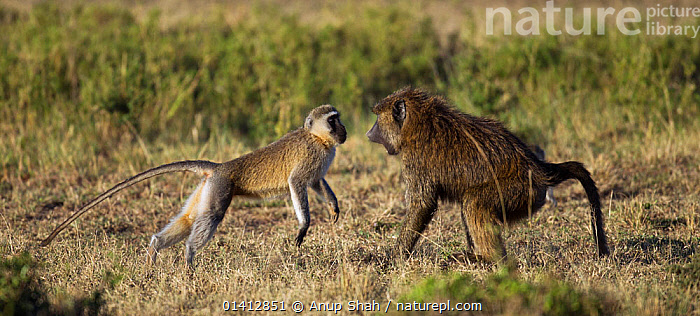 Olive baboon (Papio cynocephalus anubis) in confrontation with a Vervet monkey (Cercopithecus aethiops) Masai Mara National Reserve, Kenya. March, AFRICA,AGGRESSION,BABOONS,CERCOPITHECIDAE,COMMUNICATION,CONFLICT,CONFRONTATION,EAST AFRICA,FIGHTING,GRASSLAND,INTERACTION,MAASAI,MAMMALS,MIXED SPECIES,MONKEYS,PANORAMIC,PRIMATES,PROFILE,RESERVE,SAVANNA,VERTEBRATES, Anup Shah