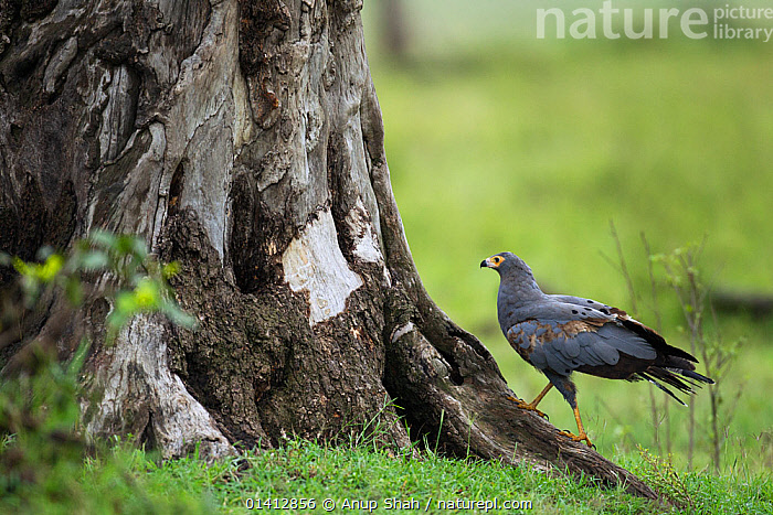 African harrier hawk (Polyboroides typus) walking up to a tree, Masai Mara National Reserve, Kenya. March, AFRICA,BIRDS,BIRDS OF PREY,EAST AFRICA,GRASSLAND,HARRIERS,MAASAI,PROFILE,RESERVE,SAVANNA,TREES,TRUNKS,VERTEBRATES,WALKING,PLANTS, Anup Shah