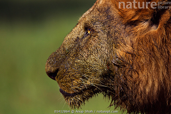 African Lion (Panthera leo) male head portrait, after feeding on a kill, Masai Mara National Reserve, Kenya. March, AFRICA,BIG CATS,CARNIVORES,COPYSPACE,DIRTY,EAST AFRICA,FACES,FELIDAE,GRASSLAND,HEADS,LIONS,MAASAI,MALES,MAMMALS,MUD,PORTRAITS,PROFILE,RESERVE,SAVANNA,VERTEBRATES, Anup Shah