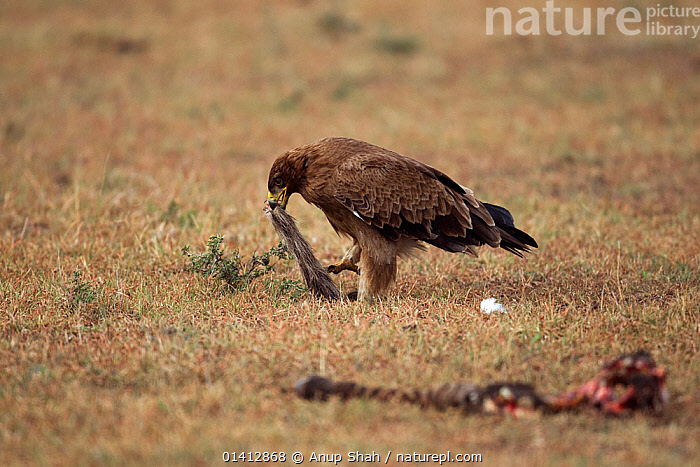Tawny eagle (Aquila rapax) scavenging after a kill, Masai Mara National Reserve, Kenya. March, AFRICA,BIRDS,BIRDS OF PREY,BONES,CARCASS,EAGLES,EAST AFRICA,FEEDING,GRASSLAND,MAASAI,RESERVE,SAVANNA,SCAVENGING,VERTEBRATES,Raptor, Anup Shah