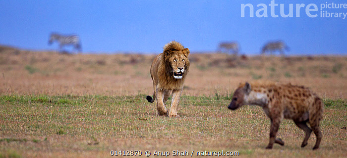 African Lion (Panthera leo) male approaching Spotted hyaena (Crocuta crocuta) Masai Mara National Reserve, Kenya. March, AFRICA,BIG CATS,CARNIVORES,CONFLICT,CONFRONTATION,EAST AFRICA,FELIDAE,GRASSLAND,LIONS,MAASAI,MALES,MAMMALS,MIXED SPECIES,PANORAMIC,PROFILE,RESERVE,SAVANNA,VERTEBRATES,WALKING, Anup Shah