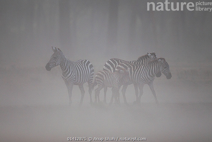 Common zebra (Equus quagga) herd standing in a dust storm caused by extreme wind in the dry season, Masai Mara National Reserve, Kenya. March, AFRICA,BURCHELL'S ZEBRA,DRY,DRY SEASON,DUST,DUSTY,EAST AFRICA,EQUIDAE,EQUUS BURCHELLI ,EQUUS BURCHELLII,GRASSLAND,GROUPS,HERDS,MAASAI,MAMMALS,PERISSODACTYLA,PLAINS ZEBRA,RESERVE,SAVANNA,STORMS,VERTEBRATES,WEATHER,WIND,ZEBRAS,Equines, Anup Shah