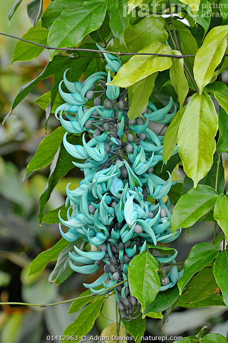 Jade vine (Strongylodon macrobotrys) in flower,, DICOTYLEDONS,FABACEAE,FLOWERS,PHILIPPINES,PLANTS,SOUTH EAST ASIA,VERTICAL, Adrian Davies