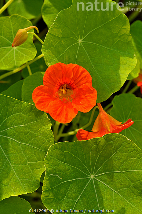 Nasturtium (Tropaeolum) growing in a garden, Devon, England, UK, July., COLOURFUL,CULTIVATED,DICOTYLEDONS,ENGLAND,EUROPE,FLOWERS,FULL FRAME,GARDENS,PLANTS,RED,TROPAEOLACEAE,TWO,UK,VERTICAL,United Kingdom, Adrian Davies