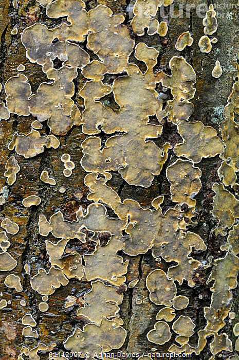 Peniophora quercina (Peniophora quercina), a wood decay fungus, growing on tree bark, Surrey, England, UK, October., ABSTRACT, BARK, ENGLAND, EUROPE, FUNGI, PENIOPHORACEAE, PLANTS, RUSSULALES, TREES, UK, VERTICAL,United Kingdom, Adrian Davies