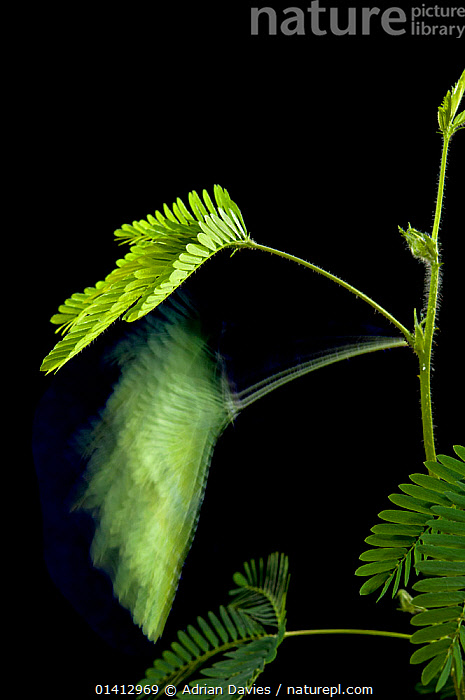 Long exposure of a Sensitive plant (Mimosa pudica), showing movement of leaves and stem following irritation., black background, Blurred, CUTOUT, DICOTYLEDONS, digital-composite, FABACEAE, LEAVES, LEGUME, MOVEMENT, PLANTS, Studio, TIME-EXPOSURE,Catalogue5, Adrian Davies