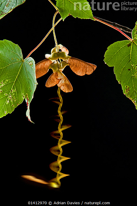 Seed of a Sycamore (Acer pseudoplatanus) tree  falling in autumn. Long exposure, ACERACEAE,AUTUMN,black background,Blurred,CUTOUT,DICOTYLEDONS,DISPERSAL,MOVEMENT,PLANTS,SEEDS,Studio,TIME-EXPOSURE,VERTICAL high1314,ACER PSEUDOPLATANUS,Plant,Vascular plant,Flowering plant,Rosid,Soapberry,Maple tree,Sycamore tree,Dicot,Sycamore,Plantae,Plant,Tracheophyta,Vascular plant,Magnoliopsida,Flowering plant,Angiosperm,Seed plant,Spermatophyte,Spermatophytina,Angiospermae,Sapindales,Rosid,Dicot,Dicotyledon,Rosanae,Sapindaceae,Soapberry,Acer,Maple tree,Maple,Acer pseudoplatanus,Sycamore tree,Sycamore maple,Acer wondracekii,Acer rafinesquianum,Acer procerum,Acer atropurpureum,Acer majus,Proteales,Proteanae,Platanaceae,Platanus,Sycamore,Plane tree,Moving Down,Falling,Falls,On The Move,Colour,Green,Nobody,Plain Background,Black Background,Close Up,Photographic Effect,Long Exposure,Leaf,Foliage,Seed,Seeds,Tree,Sycamore Tree,Sycamore Trees,Sycamores,Outdoors,Open Air,Outside,Autumn,Autumnal,Fall,Nature,Natural,Natural World,Interesting,Moving,Green colour,One Object,Trees, Adrian Davies