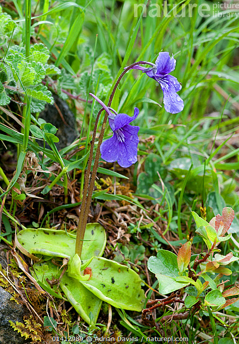Large flowered butterwort (Pinguicula grandiflora), Picos de Europa, Spain, June., DEW,DICOTYLEDONS,EUROPE,FLOWERS,LENTIBULARIACEAE,MOUNTAINS,PLANTS,SPAIN,UPLANDS,VERTICAL, Adrian Davies
