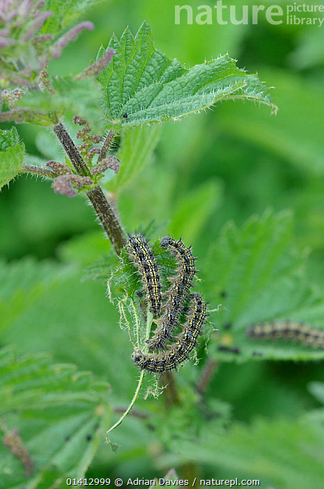 Peacock butterfly (Inacis io) caterpillars feeding on Stinging nettle (Urtica dioica) leaves, Devon, England, UK, July., CATERPILLAR,DICOTYLEDONS,ENGLAND,EUROPE,FEEDING,FOUR,GREEN,GROUPS,LARVAE,PLANTS,UK,URTICACEAE,VERTICAL,United Kingdom, Adrian Davies