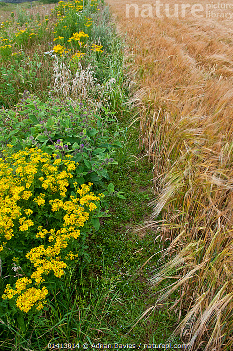 Wildflowers. including Ragwort (Jacobaea vulgaris) and Burdock (Arctium) left to grow along the margin of a Barley (Hordeum vulgare) field, Prawle, Devon, England, UK, July., AGRICULTURE, ASTERACEAE, COMPOSITAE, CONSERVATION, CROPS, DICOTYLEDONS, ENGLAND, EUROPE, FARMLAND, farms, fields, FLOWERS, GRAMINEAE, GRASSES, HABITAT, MIXED-SPECIES, MONOCOTYLEDONS, PLANTS, POACEAE, UK, VERTICAL, YELLOW,United Kingdom, Adrian Davies