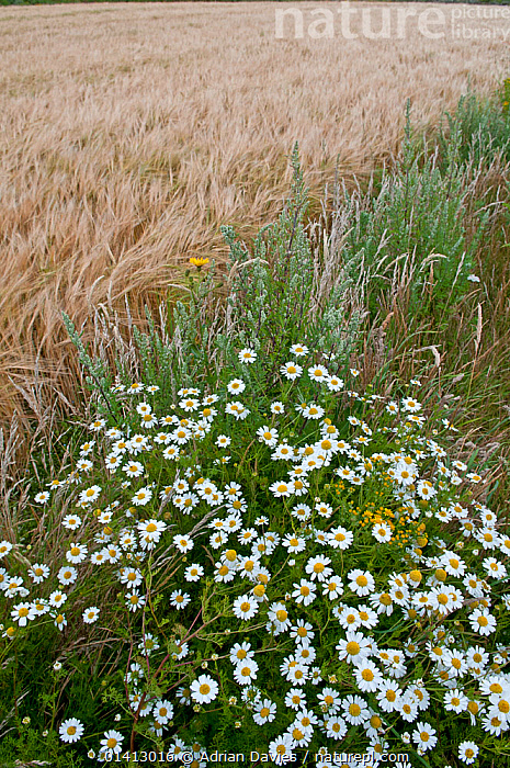 Wildflowers, including Ox eye daisies (Leucanthemum vulgare) left to grow along the margin of a Barley (Hordeum vulgare) field, Prawle, Devon, England, UK, July., AGRICULTURE,ASTERACEAE,COMPOSITAE,CONSERVATION,CROPS,DICOTYLEDONS,ENGLAND,EUROPE,FARMLAND,FARMS,FIELDS,FLOWERS,GRAMINEAE,GRASSES,HABITAT,MARGUERITE,MIXED SPECIES,MONOCOTYLEDONS,PLANTS,POACEAE,UK,YELLOW,United Kingdom, Adrian Davies