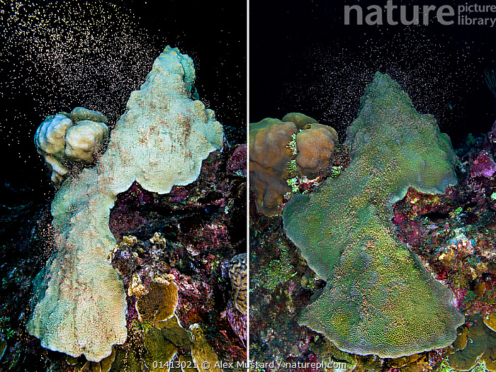 Two photos taken one year apart of the same colony of Mountainous star coral (Montastraea faveolata) spawning on both occasions, and recovering from bleaching due to thermal stress, East End, Grand Cayman, Cayman Islands, British West Indies, Caribbean Sea, 2005 (left)  and 2006 (right)., ANTHOZOANS, CARIBBEAN, CNIDARIANS, COASTAL-WATERS, CORAL-REEFS, CORALS, digital-composite, ENVIRONMENTAL, HARD-CORALS, INVERTEBRATES, ISLANDS, MARINE, NIGHT, REPRODUCTION, spawning, TROPICAL, two, UNDERWATER, VERTICAL,West Indies,Cnidaria, Alex Mustard