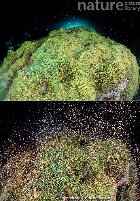 Two images of the same colony of Mountainous star coral (Montastraea faveolata) spawning at night on a coral reef showing the bundles of eggs and sperm before and after the synchronous spawning release, East End, Grand Cayman, Cayman Islands, British West Indies, Caribbean Sea., ANTHOZOANS,CARIBBEAN,CNIDARIANS,COASTAL WATERS,COMPOSITE,CORAL REEFS,CORALS,HARD CORALS,INVERTEBRATES,MARINE,NIGHT,REPRODUCTION,SEQUENCE,SPAWNING,TROPICAL,TWO,UNDERWATER,West Indies,Cnidaria, Alex Mustard
