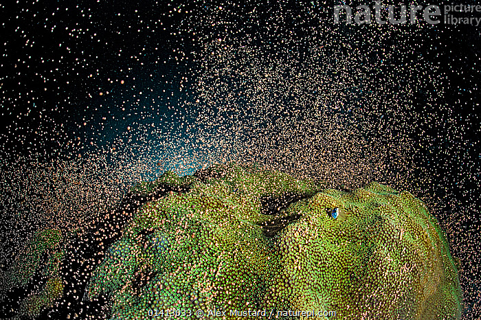 Mountainous star coral (Montastraea faveolata) spawning at night on a coral reef, showing the synchronous release of bundles of eggs and sperm, East End, Grand Cayman, Cayman Islands, British West Indies, Caribbean Sea., AMAZING,ANTHOZOANS,CARIBBEAN,CNIDARIANS,COASTAL WATERS,CORAL REEFS,CORALS,HARD CORALS,INVERTEBRATES,MARINE,NIGHT,REPRODUCTION,SPAWNING,TROPICAL,UNDERWATER,West Indies,Cnidaria, Alex Mustard