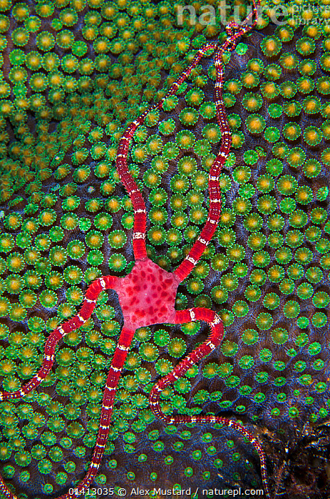 Ruby brittle star (Ophioderma rubicundum) climbing on top of a mountainous star coral (Montastraea faveolata) as it prepares to spawn at night, East End, Grand Cayman, Cayman Islands, British West Indies. Caribbean Sea.  ,  ANTHOZOANS,BRITTLESTARS,CARIBBEAN,CNIDARIANS,COASTAL WATERS,COLOURFUL,CORAL REEFS,CORALS,ECHINODERMS,HARD CORALS,INVERTEBRATES,MARINE,MIXED SPECIES,NIGHT,OPHIUROIDEA,TROPICAL,UNDERWATER,VERTICAL,West Indies  ,  Alex Mustard