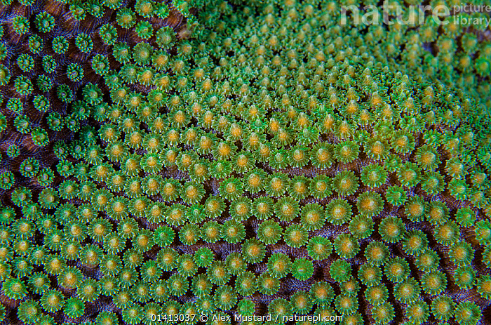 Close-up of a Mountainous star coral (Montastraea faveolata) preparing to spawn, East End, Grand Cayman, Cayman Islands, British West Indies. Caribbean Sea.  ,  ABSTRACT,ANTHOZOANS,ARTY SHOTS,CARIBBEAN,CLOSE UPS,CNIDARIANS,COASTAL WATERS,COLOURFUL,CORAL REEFS,CORALS,HARD CORALS,INVERTEBRATES,MARINE,NIGHT,REPRODUCTION,SPAWNING,TROPICAL,UNDERWATER,West Indies,Cnidaria  ,  Alex Mustard