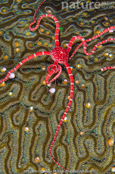 A Ruby brittle star (Ophioderma rubicundum) feeding on the spawn from a Symmeterical brain coral (Diploria strigosa), East End, Grand Cayman, Cayman Islands, British West Indies, Caribbean Sea., ANTHOZOANS,BEHAVIOUR,BRITTLESTARS,CARIBBEAN,CNIDARIANS,COASTAL WATERS,CORAL REEFS,CORALS,ECHINODERMS,FEEDING,HARD CORALS,INVERTEBRATES,MARINE,MIXED SPECIES,NIGHT,OPHIUROIDEA,REPRODUCTION,SPAWNING,TROPICAL,UNDERWATER,VERTICAL,West Indies, Alex Mustard