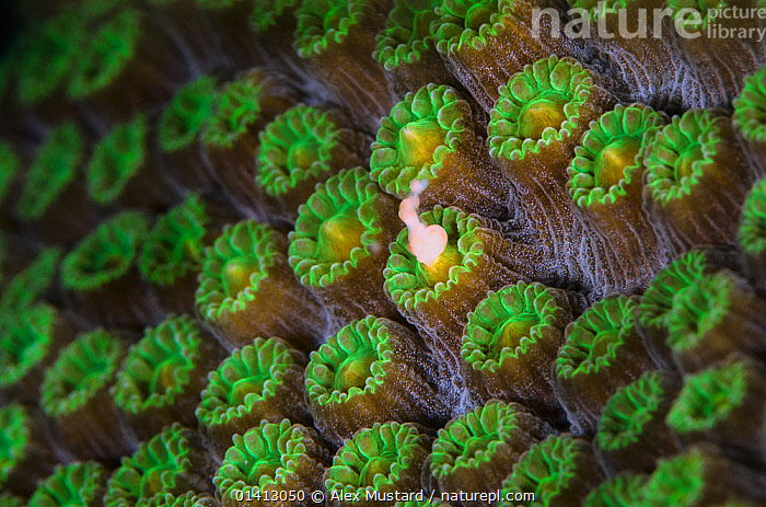 A Mountainous star coral (Montastraea faveolata) spawning at night, with gamete bundle being released from a coral polyp, East End, Grand Cayman, Cayman Islands, British West Indies, Caribbean Sea.  ,  ANTHOZOANS,CARIBBEAN,CLOSE UPS,CNIDARIANS,COASTAL WATERS,COLOURFUL,CORAL REEFS,CORALS,FULL FRAME,HARD CORALS,INVERTEBRATES,MACRO,MARINE,NIGHT,REPRODUCTION,SPAWNING,TROPICAL,UNDERWATER,West Indies,Cnidaria  ,  Alex Mustard