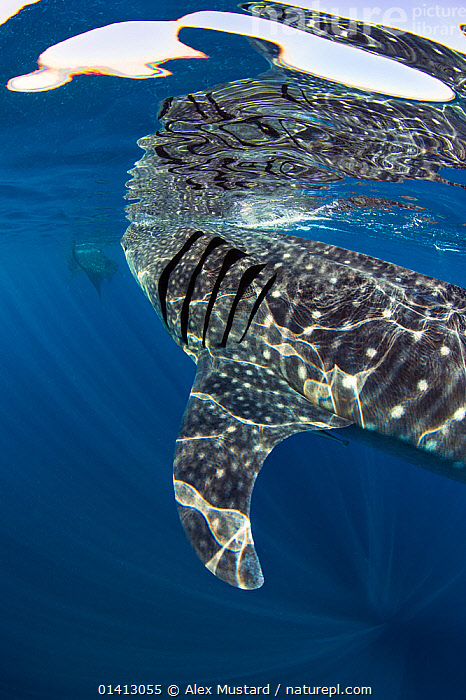Two Whale sharks (Rhincodon typus) feeding on fish eggs at the surface, Isla Mujeres, Quintana Roo, Yucatan Peninsula, Mexico, Caribbean Sea., ABSTRACT,ARTY SHOTS,BLUE,CARIBBEAN,caribbean sea,catalogue5,CHONDRICHTHYES,CLOSE UPS,EGGS,ENDANGERED,FEEDING,FISH,gills,Isla Mujeres,MARINE,MEXICO,Nobody,Quintana Roo,REFLECTIONS,refraction,Rhincodontidae,SEALIFE,SHARKS,SURFACE,TROPICAL,two,two animals,UNDERWATER,VERTEBRATES,VERTICAL,Vulnerable,WATER,water surface,Yucatan Peninsula,West Indies,CENTRAL-AMERICA, Alex Mustard