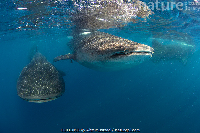 Three Whale sharks (Rhincodon typus) packing together in order to feed, Isla Mujeres, Quintana Roo, Yucatan Peninsula, Mexico, Caribbean Sea., CARIBBEAN,CHONDRICHTHYES,ENDANGERED,FEEDING,FISH,GROUPS,MARINE,RHINCODONTIDAE,SHARKS,SURFACE,THREE,TROPICAL,UNDERWATER,VERTEBRATES,VULNERABLE,West Indies,CENTRAL-AMERICA, Alex Mustard