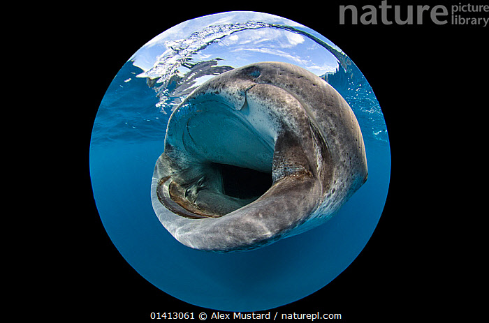 An extreme close up using circular fisheye lens of the mouth of a Whale shark (Rhincodon typus) as it feeds on fish eggs at the surface, Isla Mujeres, Quintana Roo, Yucatan Peninsula, Mexico, Caribbean Sea., BEHAVIOUR,CARIBBEAN,CHONDRICHTHYES,CIRCLE,CIRCLES,ENDANGERED,FEEDING,FISH,MARINE,RHINCODONTIDAE,SHARKS,TROPICAL,UNDERWATER,VERTEBRATES,VULNERABLE,WIDE ANGLE,West Indies,CENTRAL-AMERICA, Alex Mustard