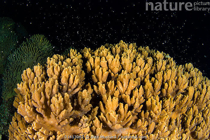 A Knobby leather coral (Sinularia) spawning at night, Raja Ampat, West Papua, Arafura Sea, Indonesia., ANTHOZOANS,ARAFURA SEA,CNIDARIANS,COASTAL WATERS,CORAL REEFS,CORALS,INDO PACIFIC,INVERTEBRATES,MARINE,NIGHT,REPRODUCTION,SOFT CORALS,SOUTH EAST ASIA,SPAWNING,TROPICAL,UNDERWATER,Cnidaria, Alex Mustard