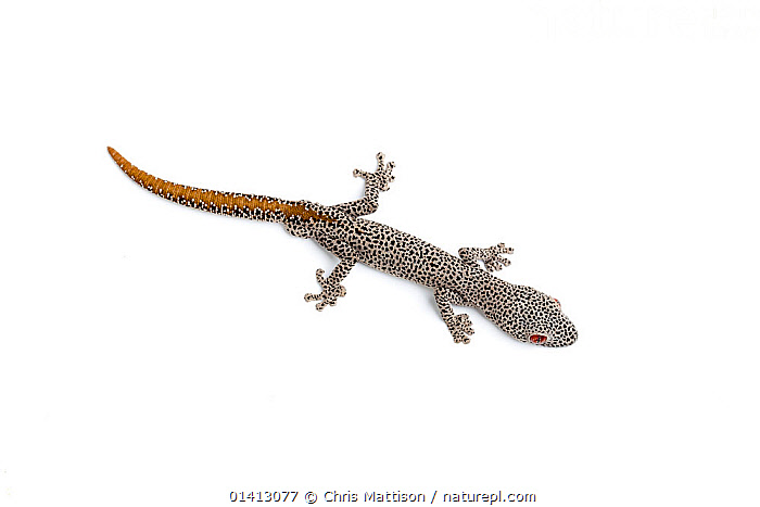 Golden-tailed gecko (Strophurus taenicauda). Endemic to Western Australia., ANIMAL MARKINGS,AUSTRALIA,CUTOUT,GECKOS,LIZARDS,PORTRAITS,REPTILES,VERTEBRATES,WHITE BACKGROUND,,Lizard,, Chris Mattison