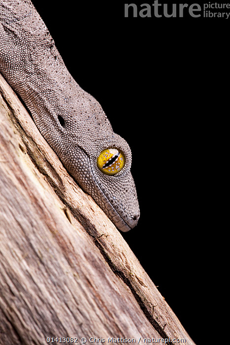 Soft spiny-tailed gecko (Strophurus spinigerus) resting in its typical head-down position. Captive. Captive. Endemic to Western Australia., AUSTRALASIA,AUSTRALIA,EYES,GECKOS,LIZARDS,REPTILES,VERTEBRATES,VERTICAL,,Lizard,, Chris Mattison