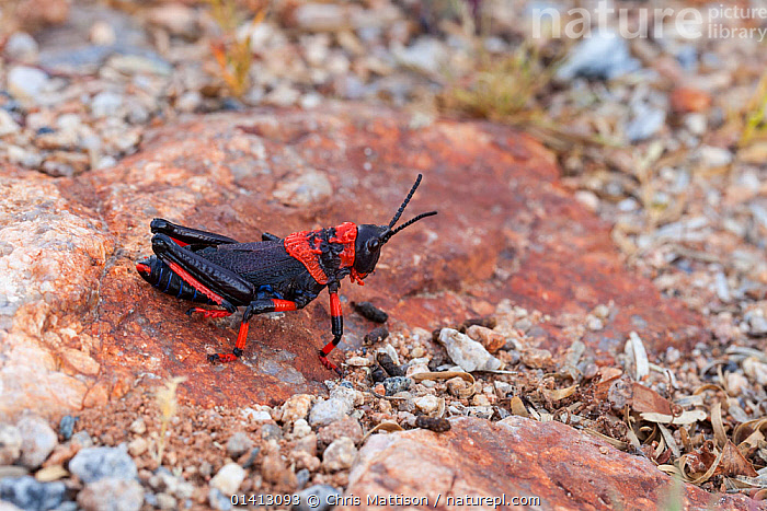 Milkweed grasshopper (Phymateus morbillosus) nymph. Vanrhynsdorp, South Africa, Octgober., AFRICA,BLACK,GRASSHOPPERS,INSECTS,INVERTEBRATES,JUVENILE,NP,NYMPHS,ORTHOPTERA,RED,RESERVE,SOUTH AFRICA,SOUTHERN AFRICA,National Park, Chris Mattison